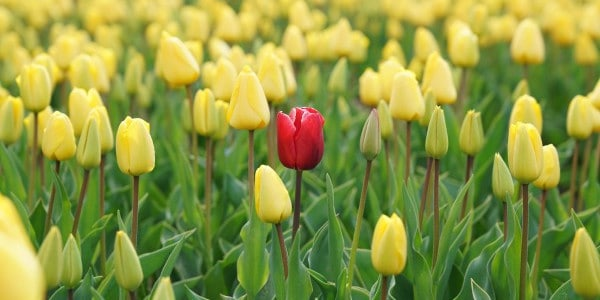 benefits of time management - one red tulip in a bunch of yellow tulips